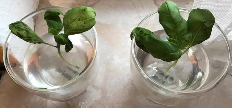 Basilikum-Experiment-mit-UMH-Wasser